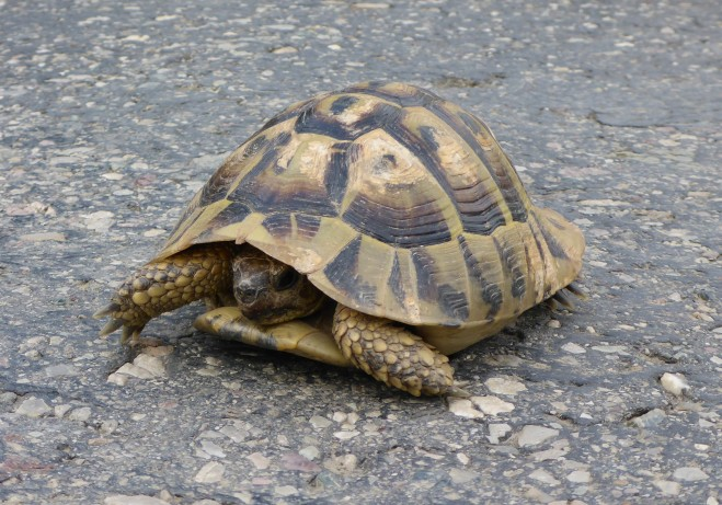 A turtle passing by on the road to Koman Lake 2