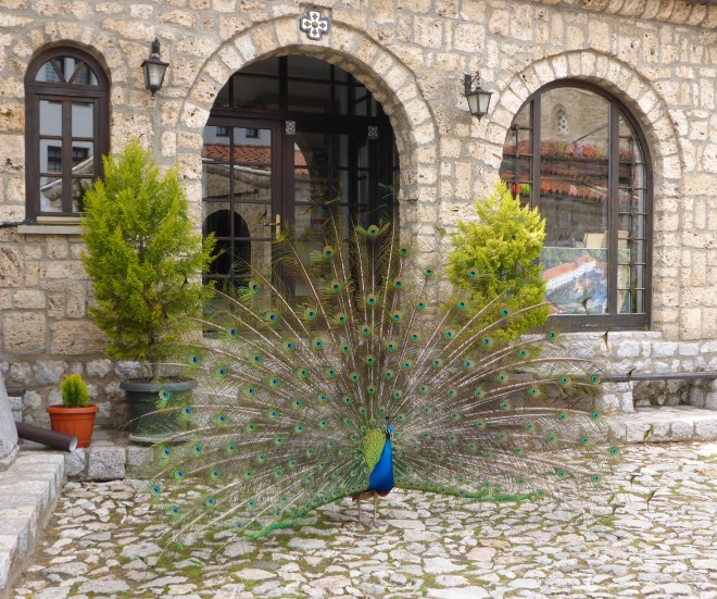 Peacock at Monastery St. Naum.