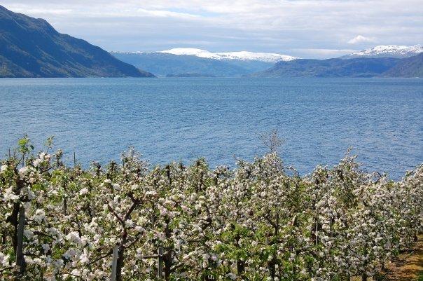 Fruit blossom in Hardanger in Norway