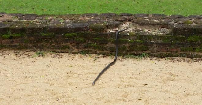Snake by Alahana Pirivena in Polonnaruwa 1