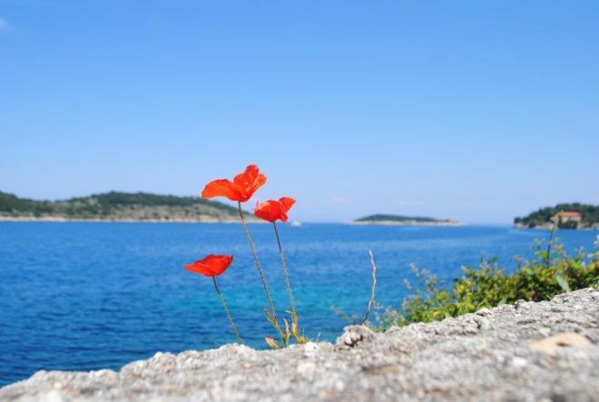 Bright red poppy at Vis Island, Croatia