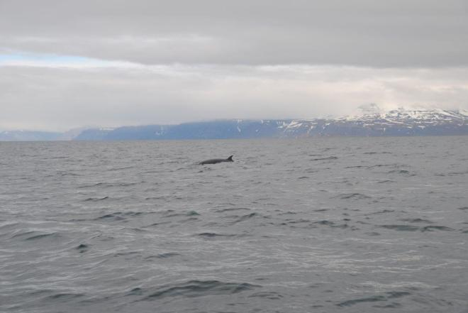 Spotted some Minke whales on the way from Isfjord Radio to Barentsburg. Svalbard, Norway.